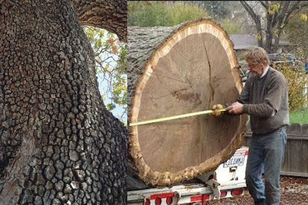 Đặc điểm thân cây Walnut Tree