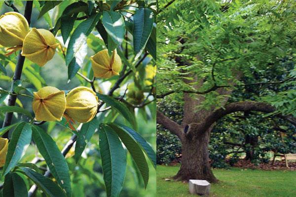 Hoa của loại gỗ óc chó -Walnut wood